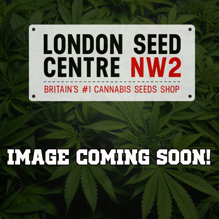 La Reina De Africa aka Kaboom Cannabis Seeds