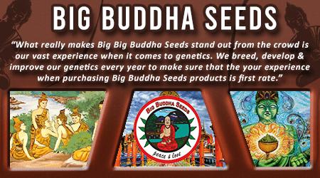 Cannabis Seeds Breeder - Big Buddha Seeds