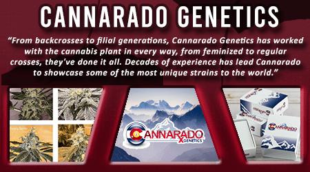 Cannabis Seeds Breeder - Cannarado Genetics