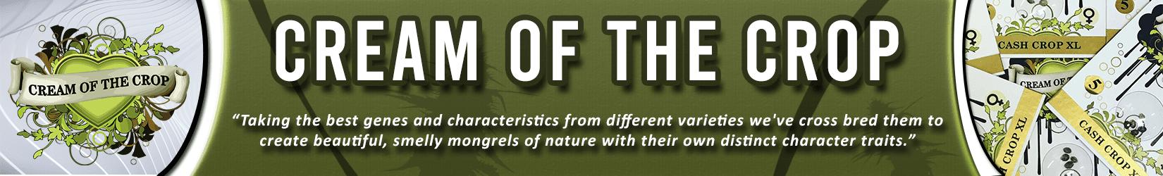 Cannabis Seeds Breeder - Cream Of The Crop