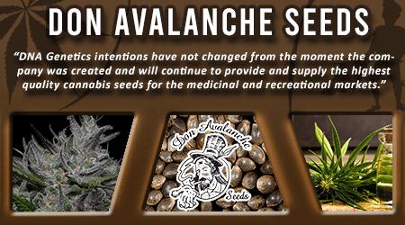 Cannabis Seeds Breeder - Don Avalanche Seeds