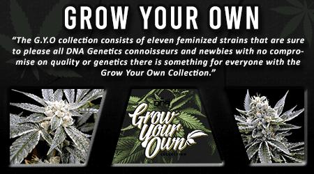 Cannabis Seeds Breeder - GYO By DNA