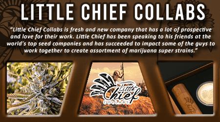 Cannabis Seeds Breeder - Little Chief