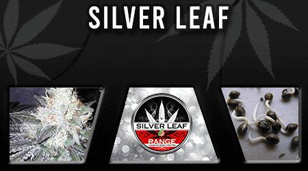 Cannabis Seeds Breeder - Silver Leaf